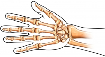 Bones in the Hand